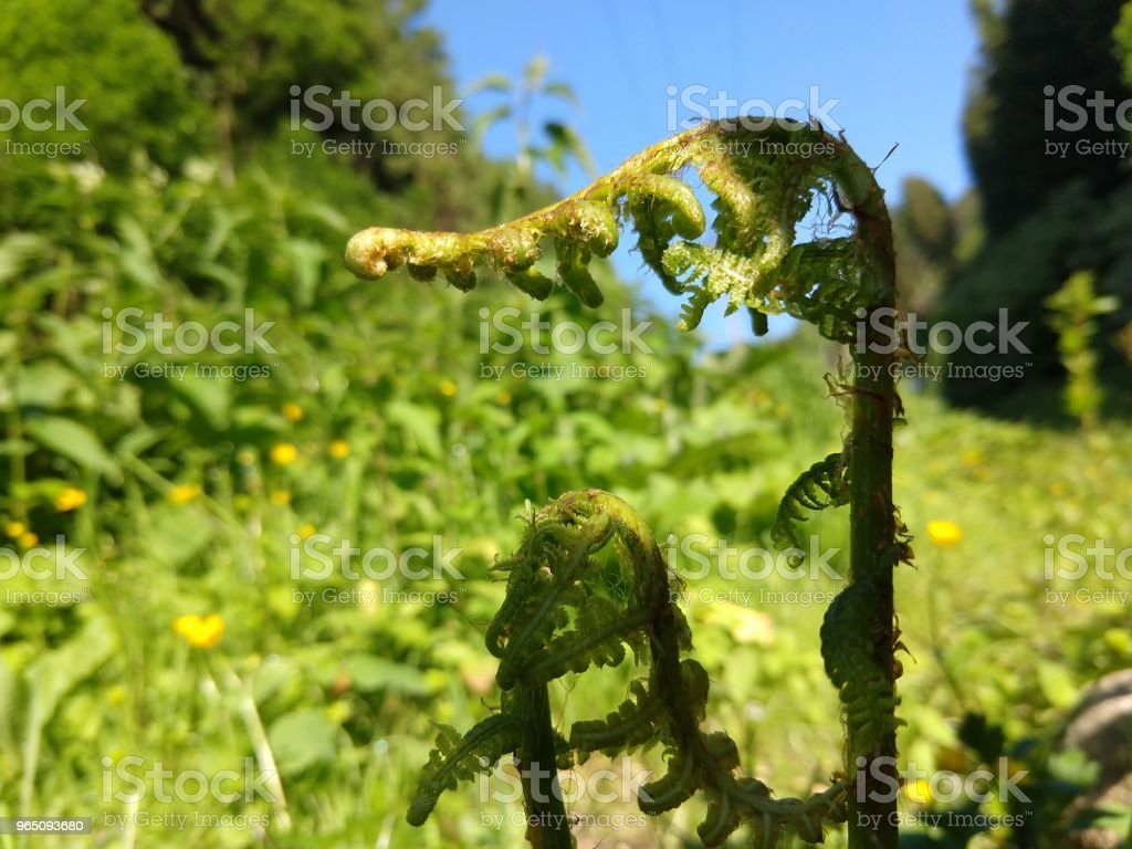 Young green fern. royalty-free stock photo