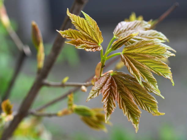 Young green leaves of a Norway maple tree blooming in spring stock photo
