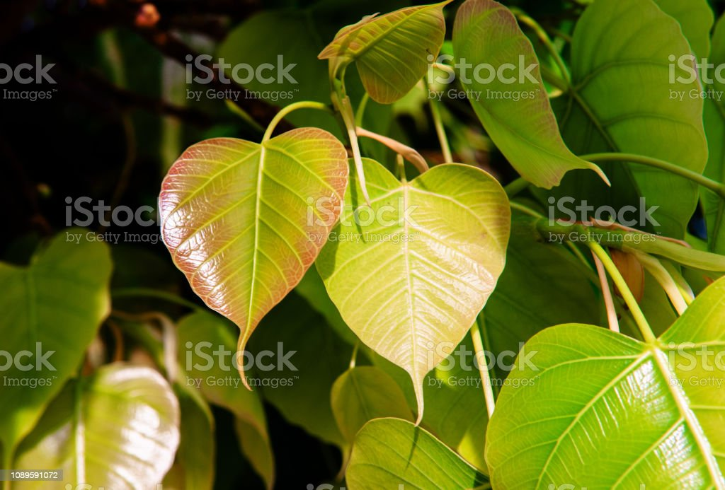 Young green leaves of Bodhi tree or Peepal tree stock photo