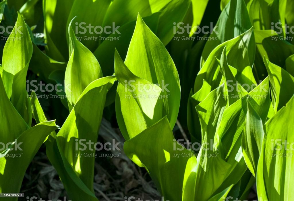 young green leaves of Lily of the valley, illuminated through the sun royalty-free stock photo