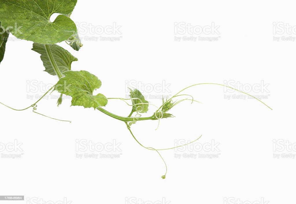 Young green leaves on white wall stock photo