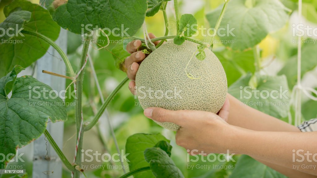young green melon or cantaloupe growing on hand farmer royalty-free stock photo
