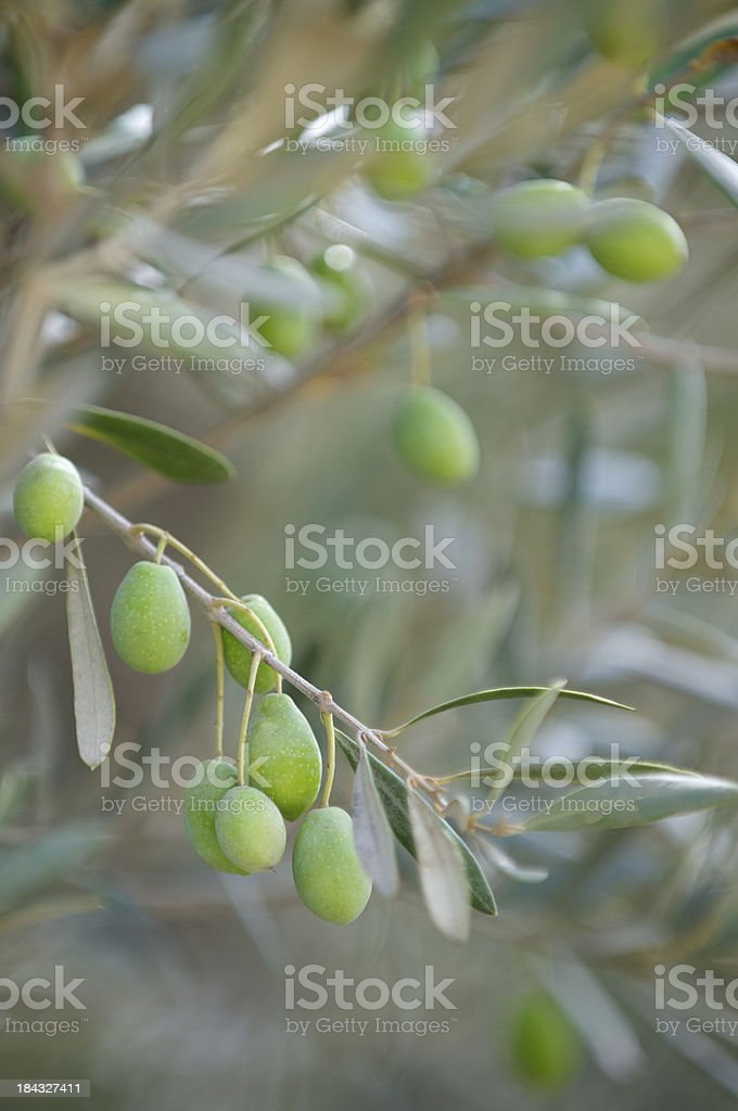 Young Green Olives Dangle from Olive Branch stock photo