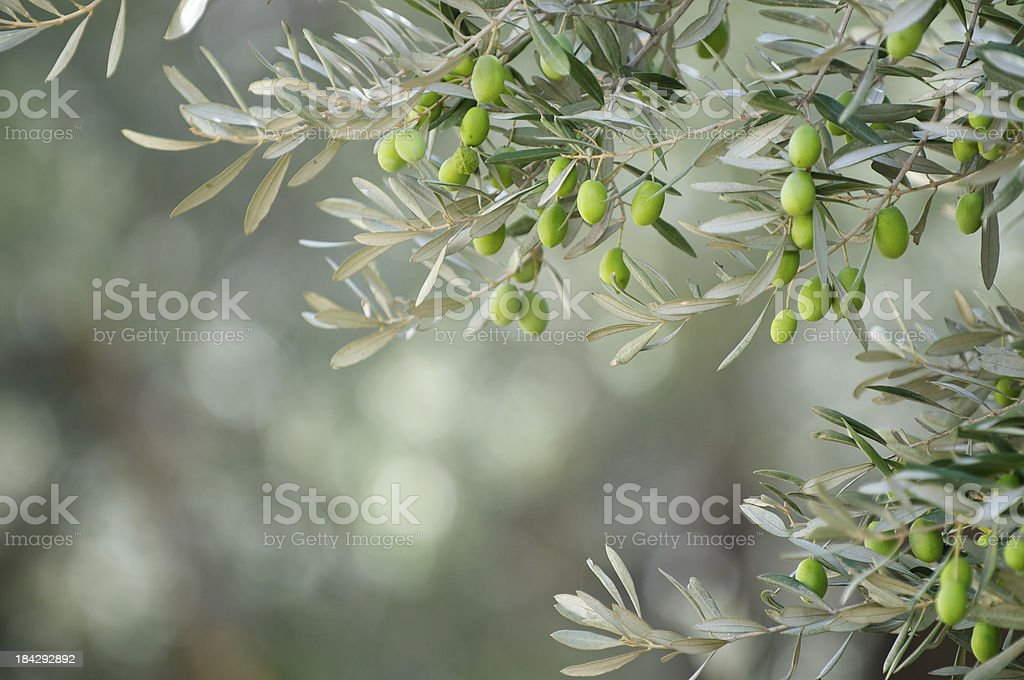 Young Green Olives Hang on Branches royalty-free stock photo