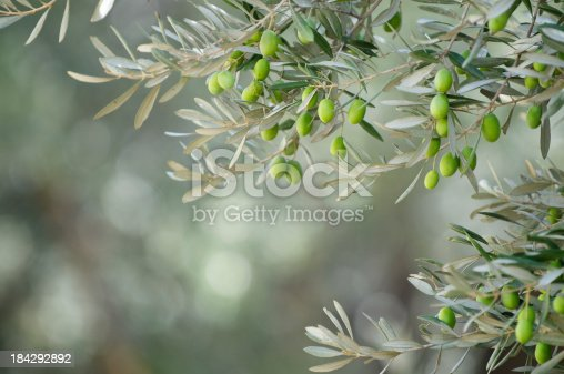 Young green olives hang on branches against an olive grove background