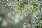 istock Young Green Olives Hang on Branches 184292892
