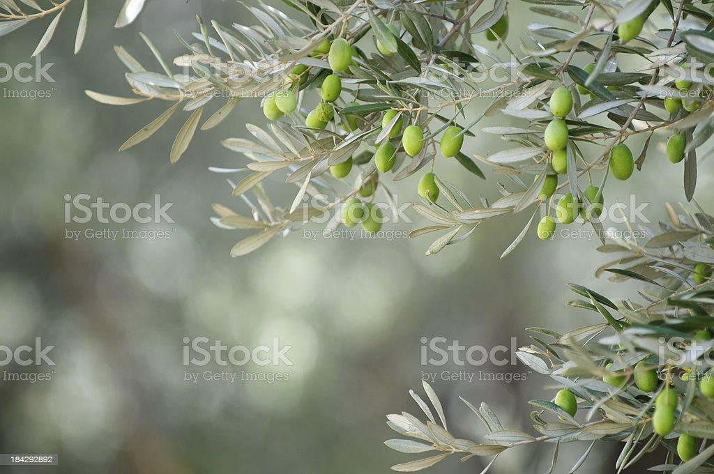 Jeune Olives vertes sur les Branches Hang - Photo