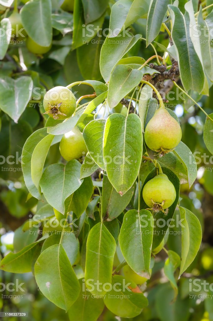 Young green pears Little fresh green pears on the tree Branch - Plant Part Stock Photo