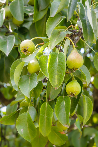 Young Green Pears Stock Photo - Download Image Now