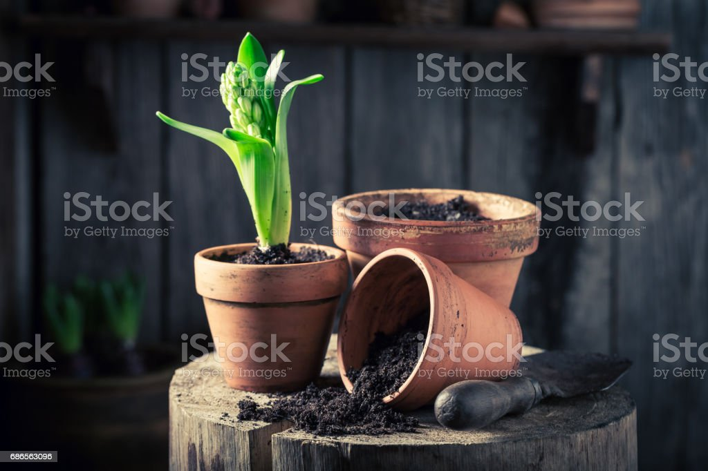 Young green plants and old red clay pots foto stock royalty-free