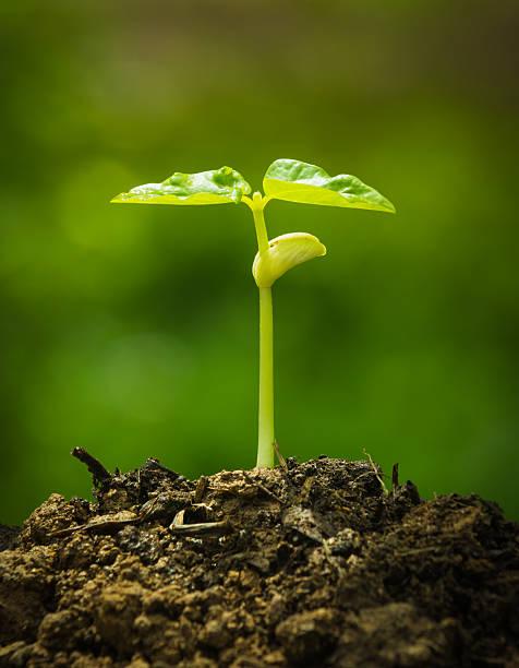 Grün wachsen aus Samen sprout – Foto