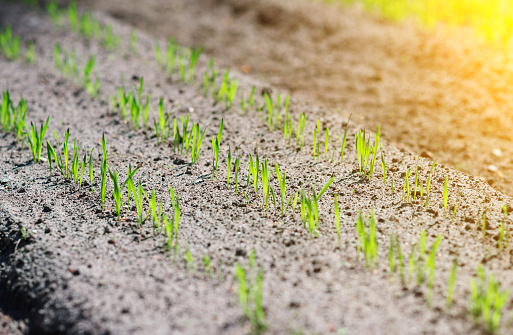 615599804 istock photo Young green seedlings in the garden. 537302664