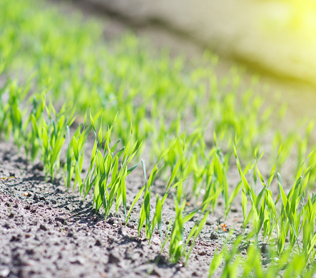 615599804 istock photo Young green seedlings in the garden. 537302710