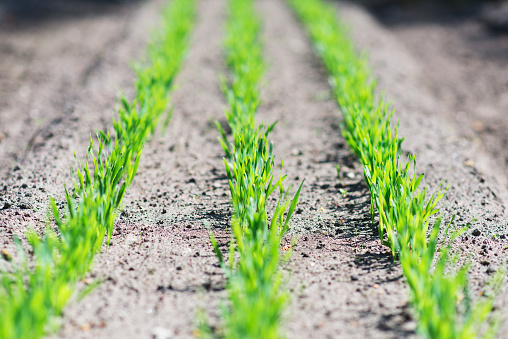 615599804 istock photo Young green seedlings in the garden. 537302808