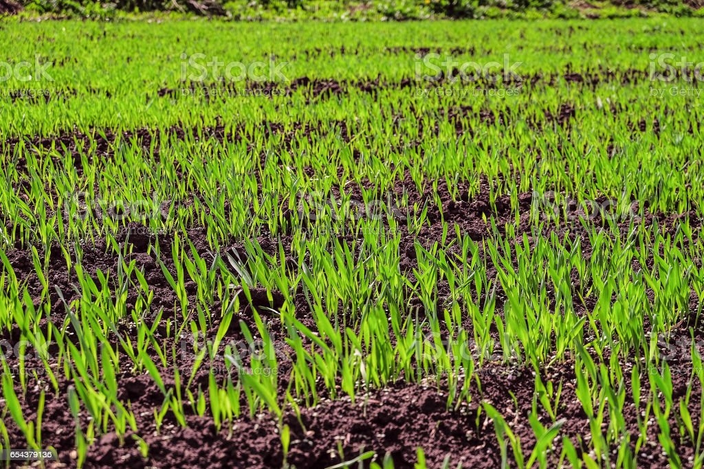 Young green shoots of grass on the oat field. Natural spring background. Limited depth of field. stock photo