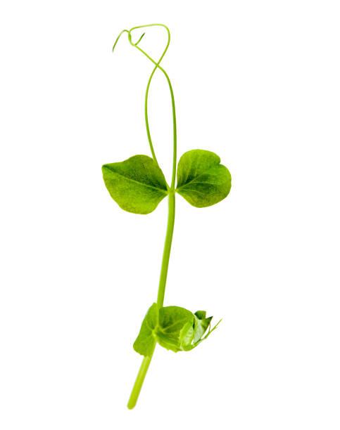 unga gröna skott av ärter isolerad på vit bakgrund - pea sprouts bildbanksfoton och bilder