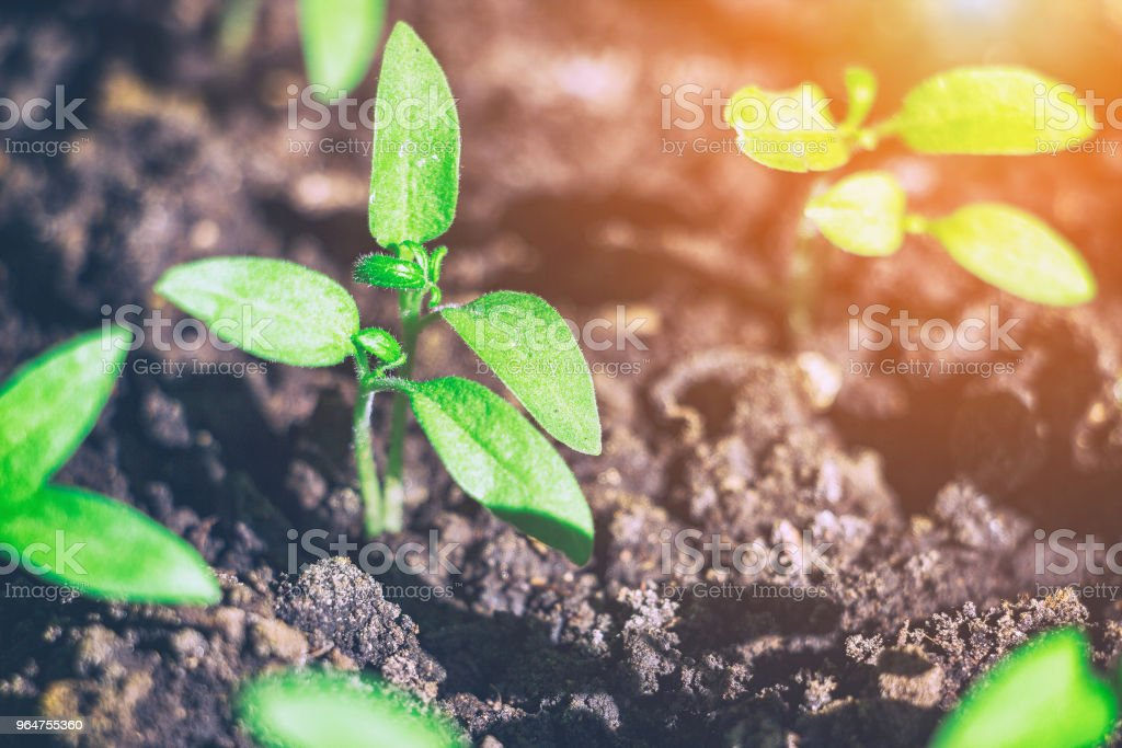 Young green shoots of the seedling royalty-free stock photo