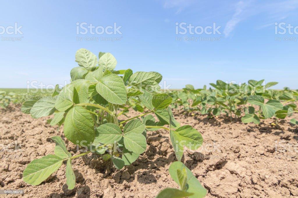 Jonge groene soja planten met grote bladeren in het veld groeien. - Royalty-free Biologisch Stockfoto