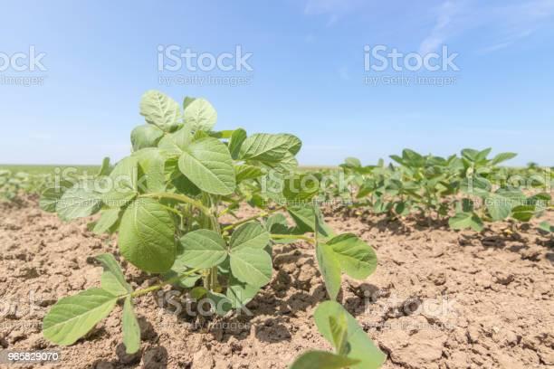 Jonge Groene Soja Planten Met Grote Bladeren In Het Veld Groeien Stockfoto en meer beelden van Biologisch