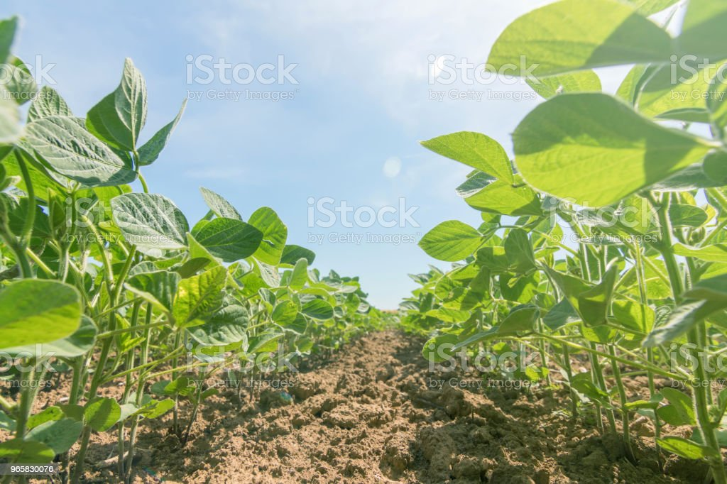 Young green soy plants with large leaves grow in the field. - Royalty-free Agricultural Field Stock Photo