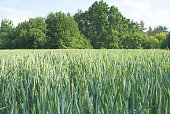 Young green spikelets of wheat on the field on a farm. Cereals. Growing organic products.