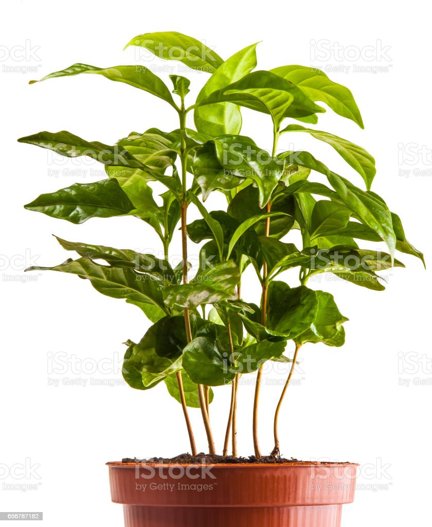 young green sprouts bush of coffee in the terra-cotta pot isolated on white background stock photo