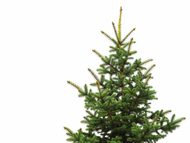 Young green spruce isolated on white background. Young green spruce isolated on white background. Object for decorating Christmas greetings for the site and printing fir tree stock pictures, royalty-free photos & images