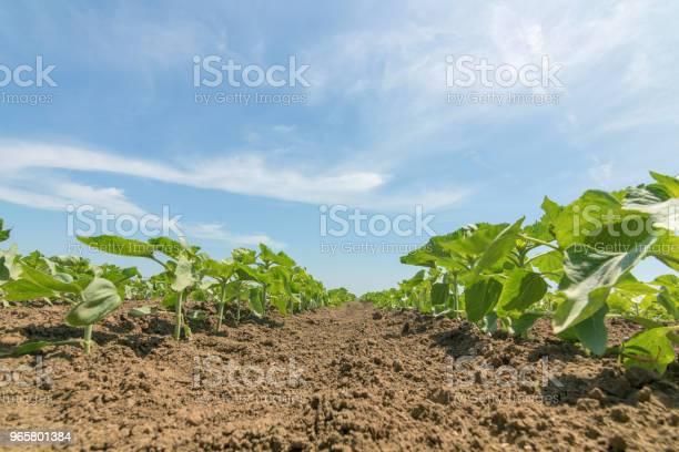 Молодые Зеленые Растения Подсолнечника Поле Молодого Подсолнечника — стоковые фотографии и другие картинки Без людей