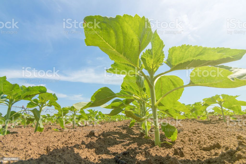 Young green sunflower plants. Field young sunflower. - Royalty-free Agricultural Field Stock Photo