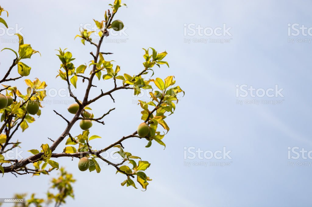 Young green ume plum fruit on a tree., Japan plum. foto stock royalty-free