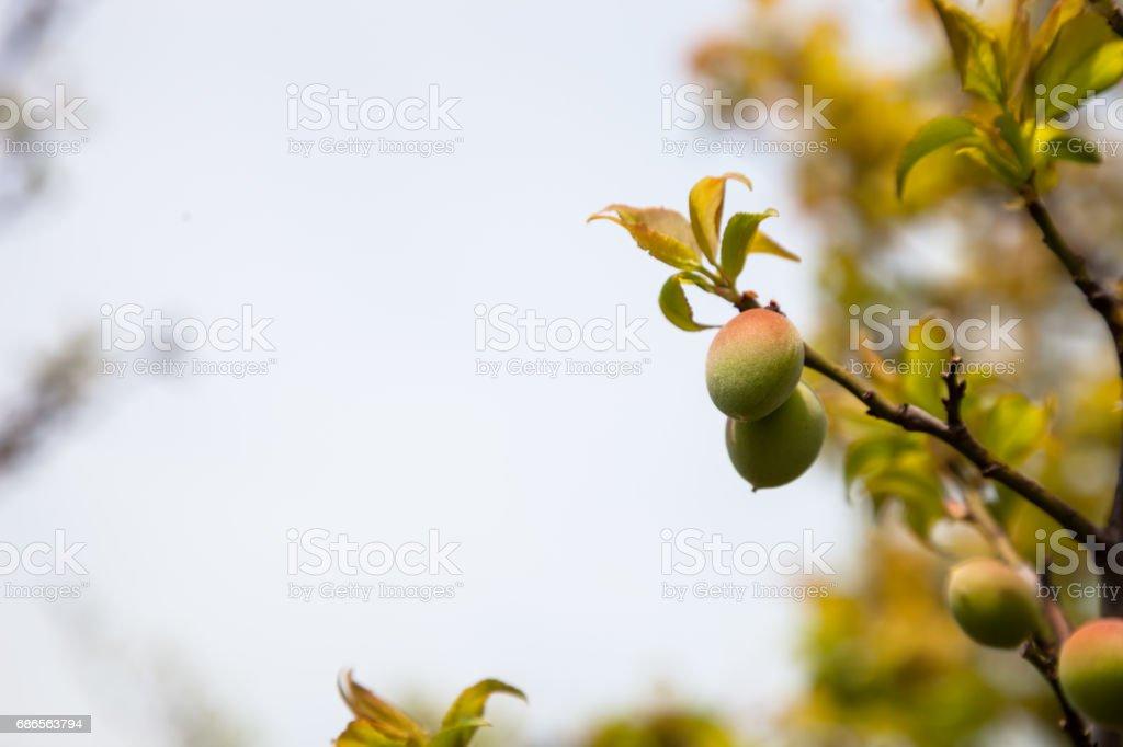 Jeunes verts fruits ume prune sur un arbre, Japon prune. photo libre de droits