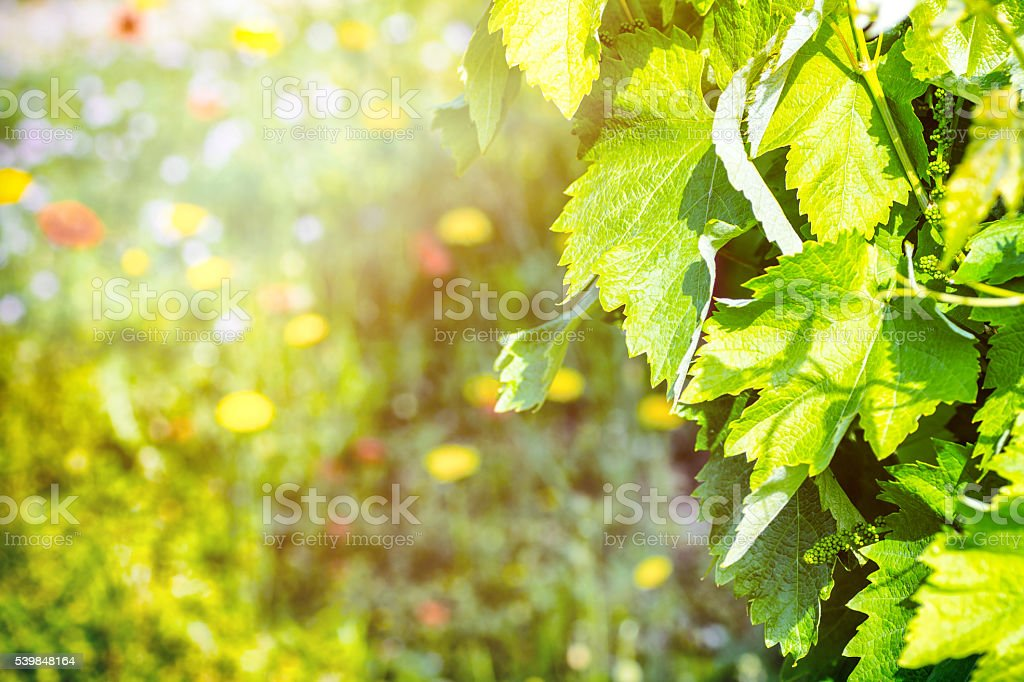 Young green vine grapes forming in french vineyard with copyspace stock photo