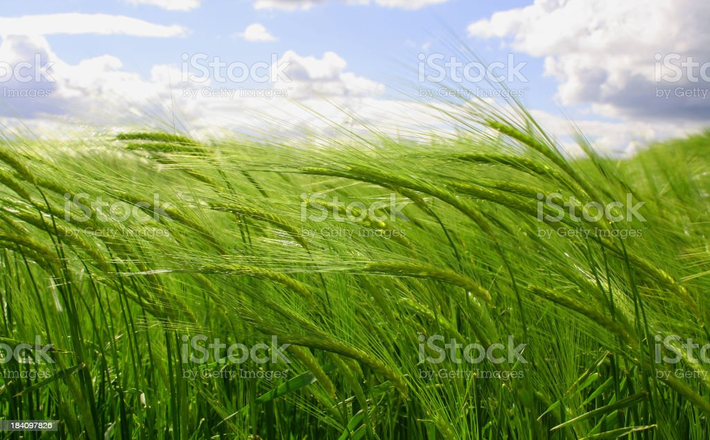 A young green wheat crop under a partly cloudy sky royalty-free stock photo