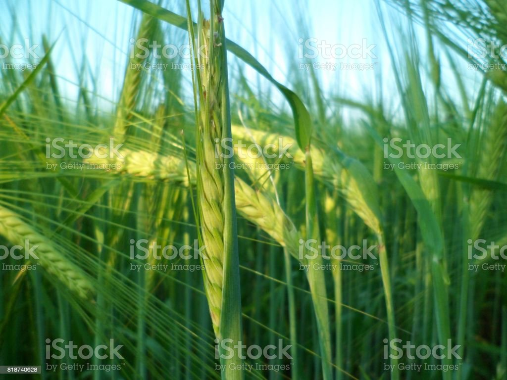 Young Green Wheat Ears Growing stock photo