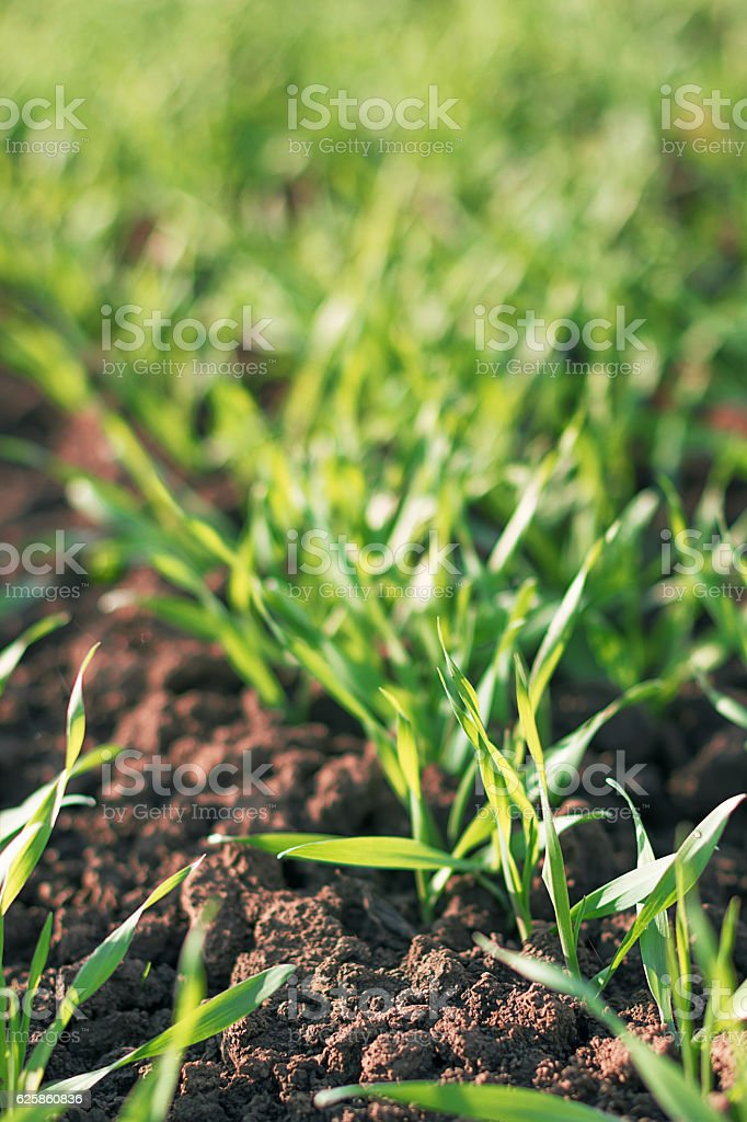 Young green wheat growing in soil. stock photo