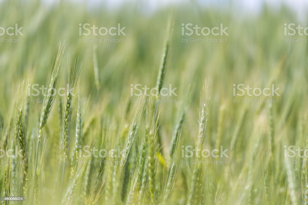 Young green wheat growing on a farmland in the Swartland in the Western Cape of South Africa stock photo
