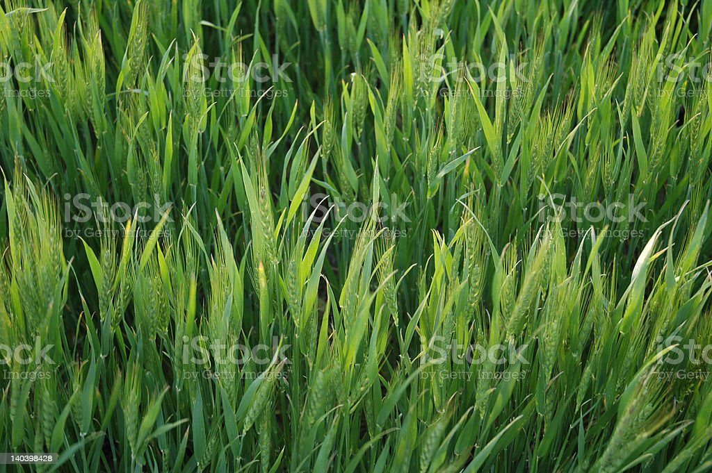 Young green wheat in Kansas stock photo