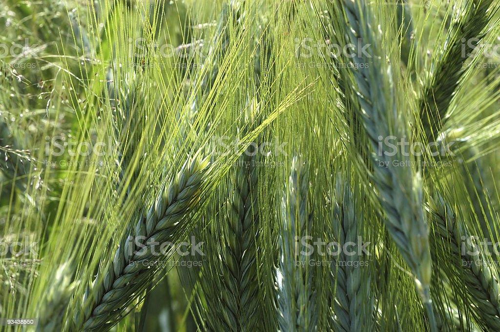 Junge grünen Weizen Lizenzfreies stock-foto