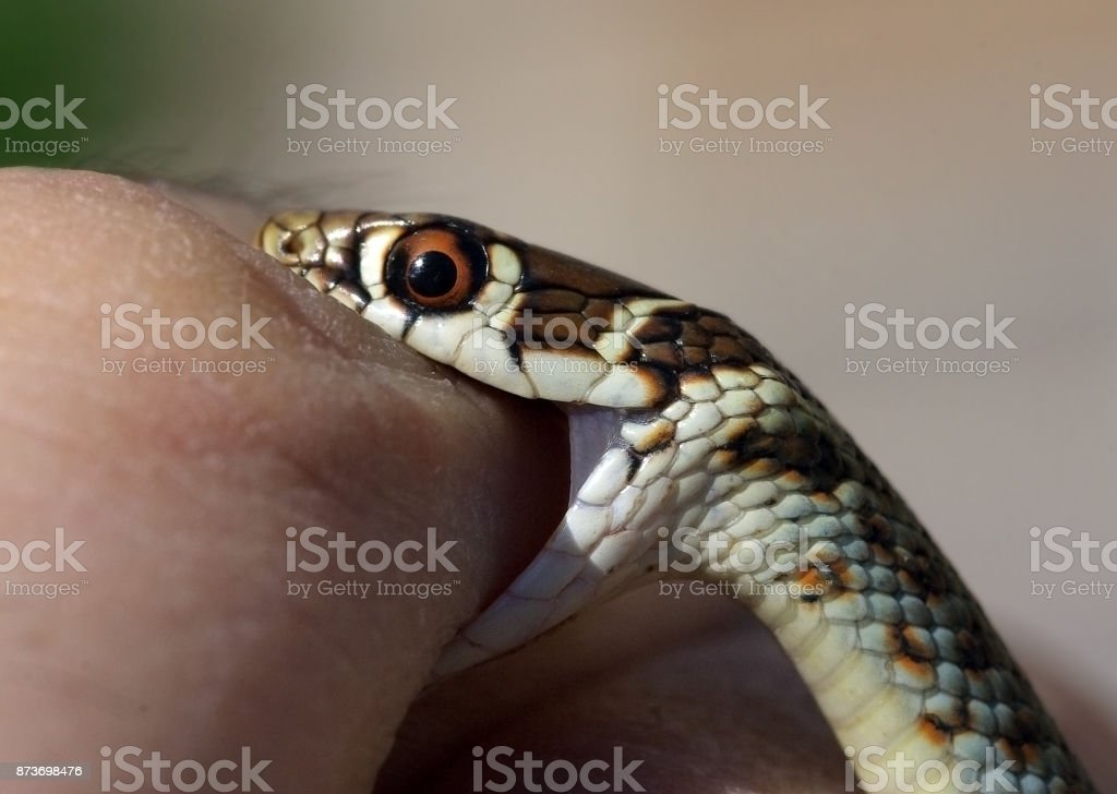 Young Green Whip Snake from Italy (Hierophius viridiflavus) biting a human finger stock photo