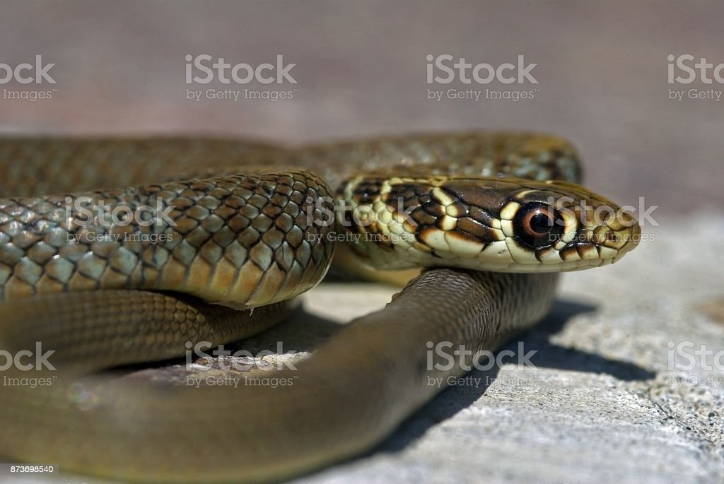 Young Green Whip Snake from Italy (Hierophius viridiflavus) stock photo