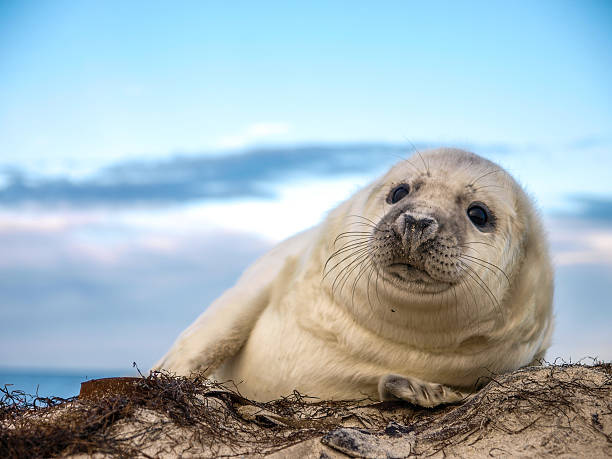 Young Grey Seal pup OLYMPUS DIGITAL CAMERAA young Grey Seal pup waiting for its' mother to return from sea seal pup stock pictures, royalty-free photos & images