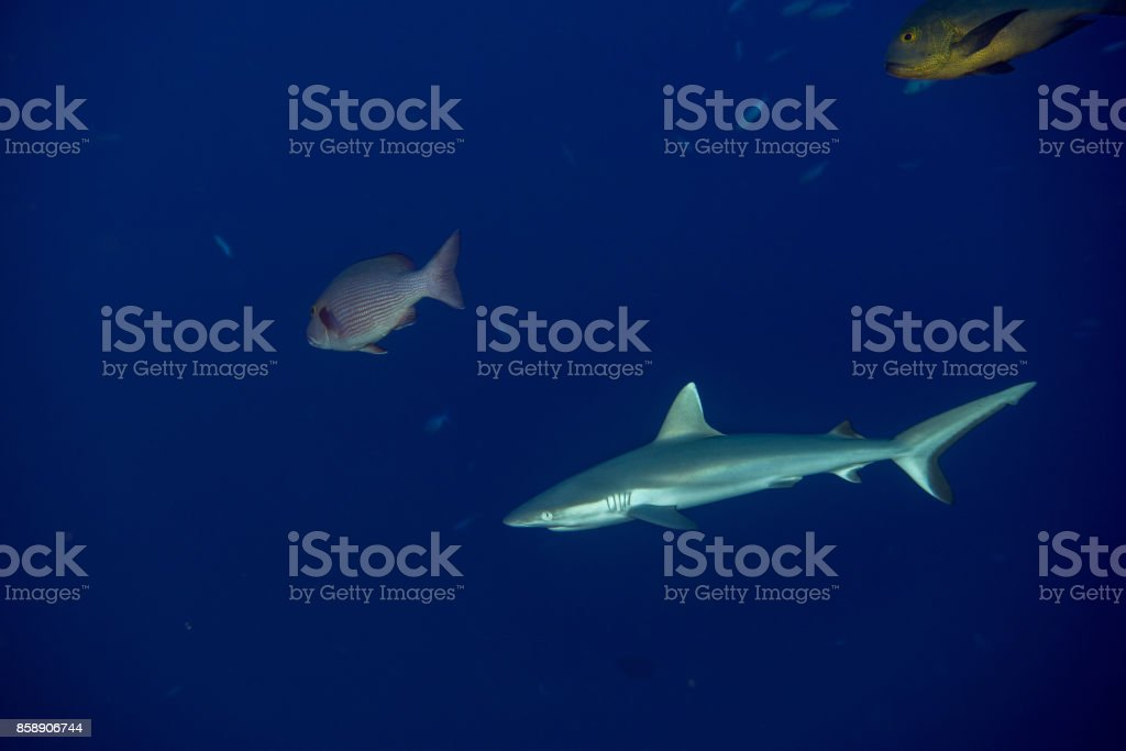young Grey shark ready to attack underwater in the blue stock photo