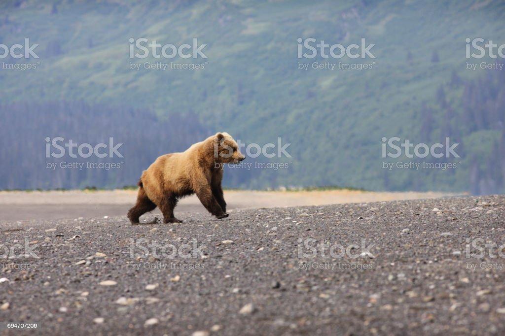 Young Grizzly Bear Ursus arctos horribilis Running stock photo