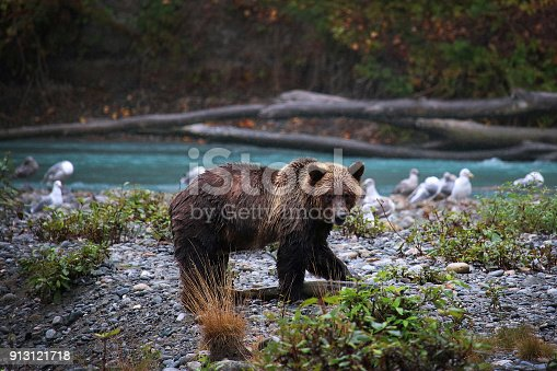 Young Grizzly Bear with freshly caught salmon, Vancouver Island, Canada