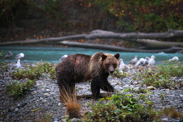 Young Grizzly Bear with Salmon stock photo