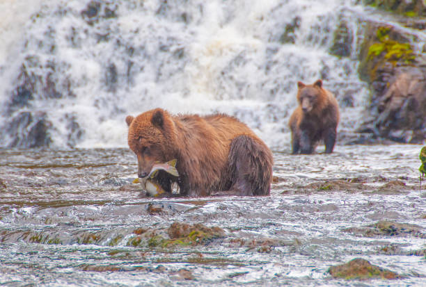 Young Grizzly Catching Salmon in Alaska stock photo