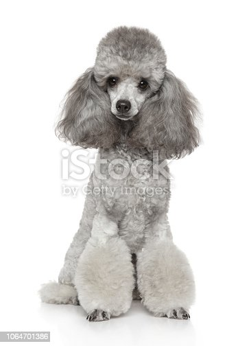 Portrait of young groomed gray Poodle on white background. Animal themes