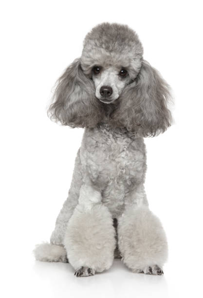 Young groomed poodle Portrait of young groomed gray Poodle on white background. Animal themes poodle stock pictures, royalty-free photos & images