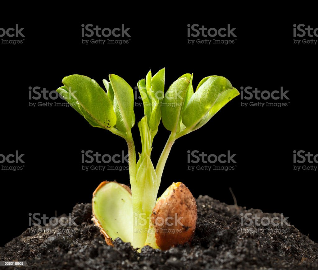 Young growing peanut plant stock photo