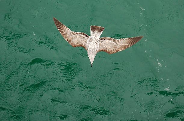 Young gull picture id91882585?b=1&k=6&m=91882585&s=612x612&w=0&h=7 c5hsceefydgxtfoh6zn7p74yw8gm nvsfzkxbtxcg=